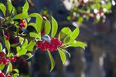 Fruit bush with backlight — Stock Photo