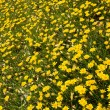 Beauty of the field of yellow flowers — Stock Photo