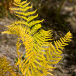 Autumn fern — Stock Photo