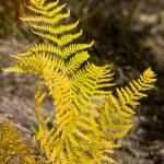 Autumn fern — Stock Photo