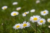 Field of daisies — Stock Photo