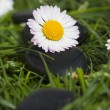 Daisy flowers and stones — Stock Photo