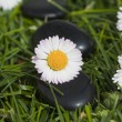 Daisy flowers and stones — Stock fotografie