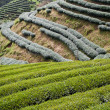 Green tea farm — Stock Photo #6815365
