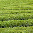 Green tea farm — Stock Photo #6815388