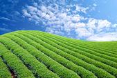 Green tea farm — Stock Photo