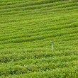 Green tea farm — Stock Photo #7018676