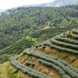 Green tea farm - Foto de Stock