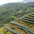 Green tea farm — Stock Photo #7018721