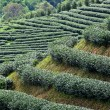 Green tea farm — Stock Photo #7018757