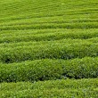 Green tea farm — Stock Photo #7018808