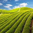 Green tea farm — Stock Photo
