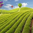 Balloon in Green tea farm — Stock Photo