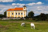 Chevaux blancs sur le pâturage — Photo