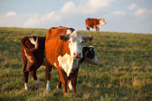 The cows — Stock Photo