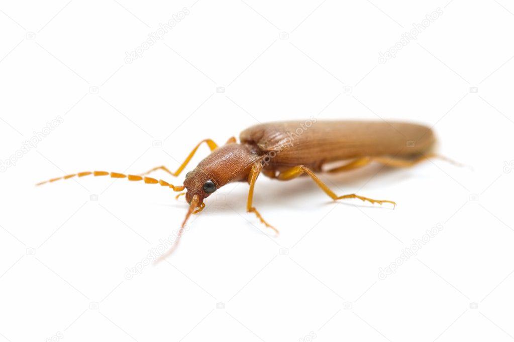 brown cockroach stock photo luiscar 6882487. Black Bedroom Furniture Sets. Home Design Ideas