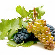 Wine grapes — Stock Photo #6955409