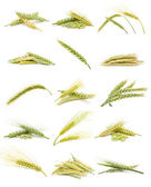 Ears of grain — Stock Photo