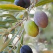 Olives in olive — Stock Photo #7339018