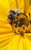 Bee on flower topinambur — Stock Photo