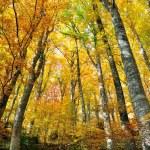 Alberi con foglie gialle in autunno — Stock Photo
