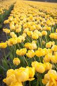 Field of peony tulips — Stock Photo
