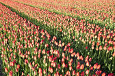 Field with red tulips — Stock Photo