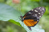 Butterfly, heliconius hecale from Costa Rica — Stock Photo