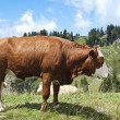 Large Brown Cow — Stock Photo #6937248