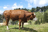 Large Brown Cow — 图库照片