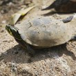 Stock Photo: Turtle taking sunbath