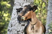 She Goat — Foto de Stock