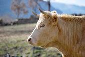 Cow head — Stock Photo