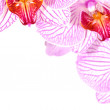 Pink orchids — Stock Photo #6848191