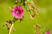 Beautiful Malva — Stock Photo