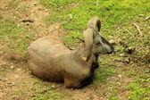 синий овец или коз антилопы — Стоковое фото