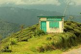Plantation de thé — Photo