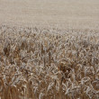 Stock Photo: Crop field