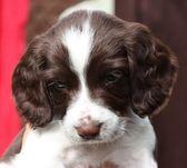 Working English Springer Spaniel puppy — Stock Photo
