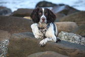 Working English Springer Spaniel lying on a rock — Stock Photo