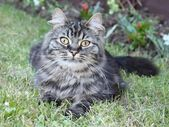 Very cute long haired tabby cat lying on grass — Stock Photo