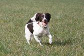 Working English Springer Spaniel Running — Stock Photo
