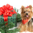 Christmas Yorkshire Terrier — Stock Photo