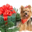 Christmas Yorkshire Terrier - Stock Photo
