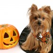 Halloween Yorkie in Witch Hat - Stock Photo