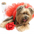Stock Photo: Sad Alcoholic Yorkie