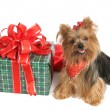 Yorkie with Christmas Gift - Stock Photo