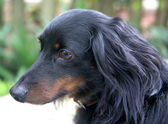 Dachshund in Profile — Stock Photo