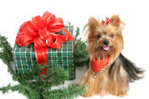 Natale yorkshire terrier — Foto Stock