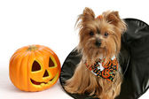 Halloween Yorkie in Witch Hat — Stock Photo